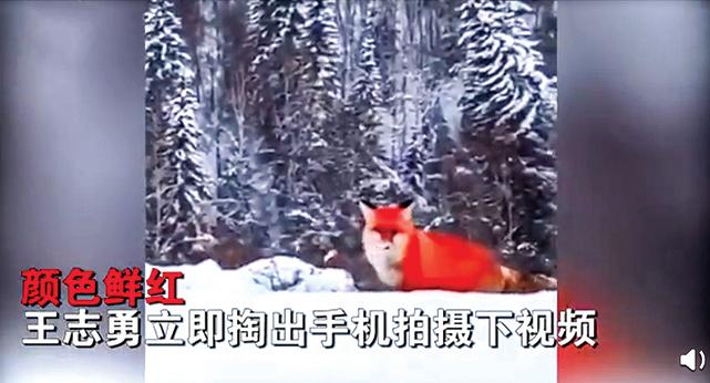 野生紅狐現身大興安嶺雪地