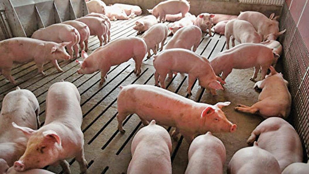 持續一年多的非洲豬瘟重創中國養豬產業,導致豬肉價格暴漲,豬肉出現供應危機。(Scott Olson/Getty Images)