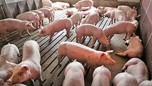 非洲豬瘟未平大陸又現新豬圓環病毒