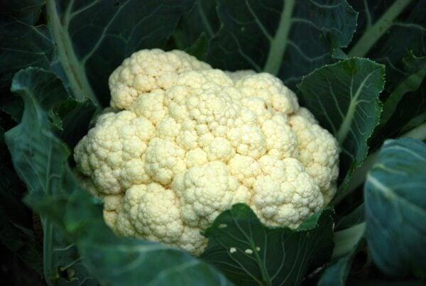白椰菜花可做成「椰菜花飯」,或製成意大利粉疙瘩、薄餅皮,以減低麵粉用量。在Uber Eats 上訂單也不斷增加。(Pixabay)