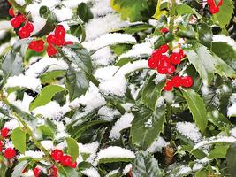 雪中冬青香 天上人間仙侶隱
