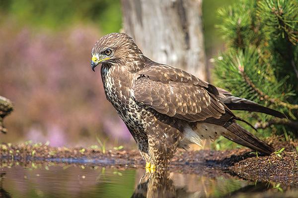 鷂鷹為雀鷹的別名。圖為松雀鷹(公有領域)