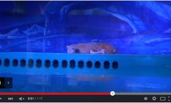 一頭可憐的北極熊住在中國廣州一家商場内,被稱為最悲慘的北極熊。(視頻截圖)