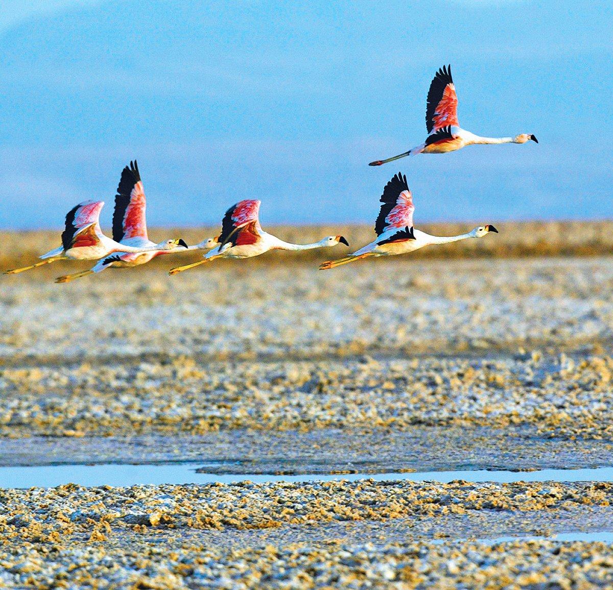 阿塔卡馬沙漠上的火烈鳥。