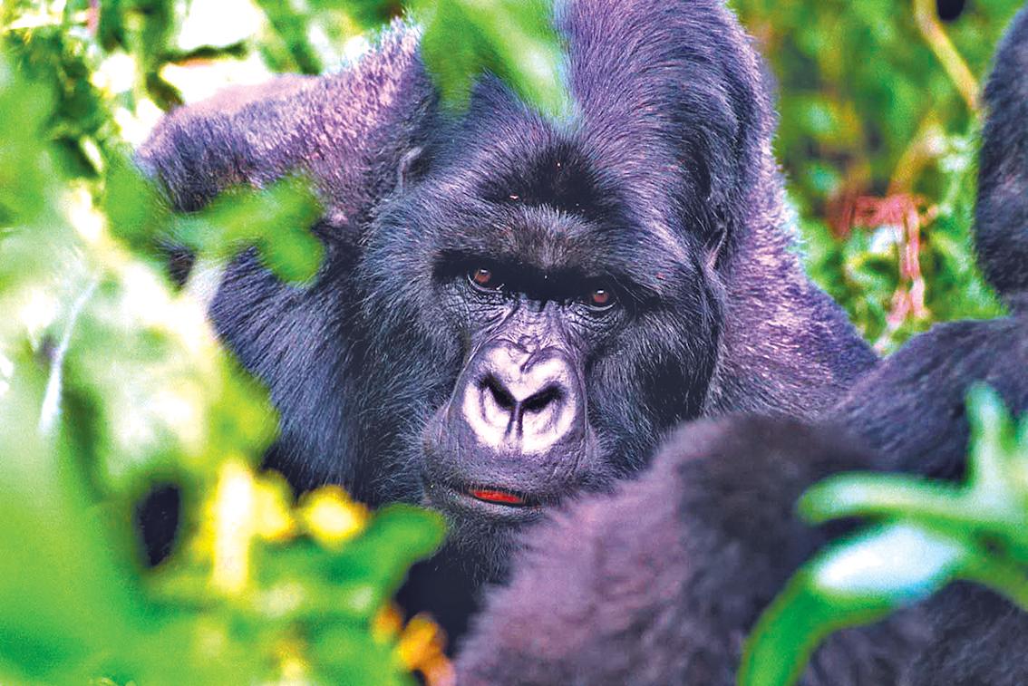 盧安達提供了近距離觀察高山大猩猩的機會。