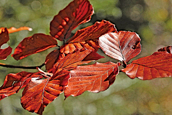 秋天的板栗紅樹(pixabay)