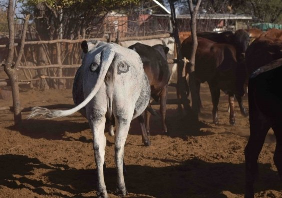 澳洲科學家在非洲牛隻的屁股上畫眼睛,試圖避免牛隻被攻擊,同時避免獅子因攻擊牛隻而被人類報復。(University of New South Wales)