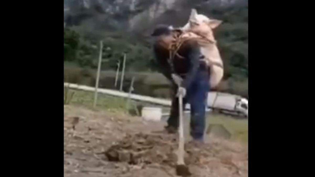 四川農民背著豬耕田的惡搞影片,笑翻一眾網友。(影片截圖)