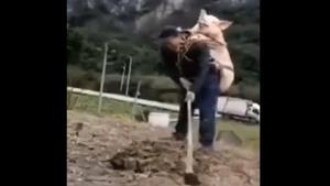 新年臨近怕豬被偷?四川農夫背豬耕田 笑翻網友