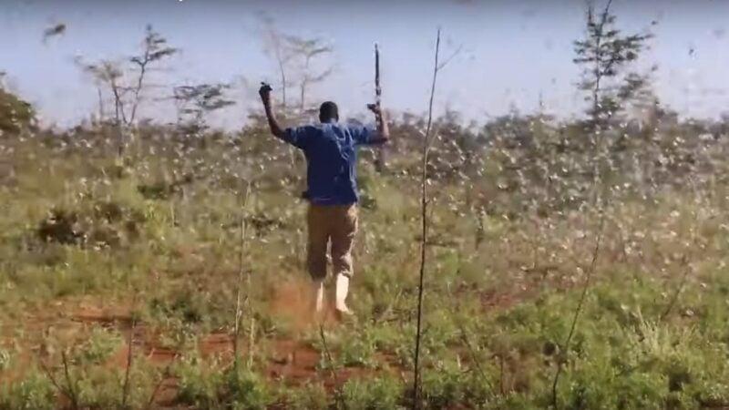 東非爆發25年來最嚴重的蝗災,飢腸轆轆的沙漠蝗蟲一天之內可以吃掉足以養活2500人的糧食,導致區域糧食危機惡化。(影片截圖)