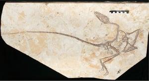 考古發現帶羽毛新品種小恐龍