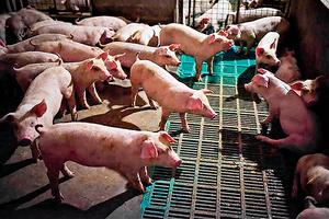 大陸去年豬肉產量 十六年最低 價格漲幅達42.5%