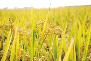 聽「年」的聲音 「稻」年年有餘