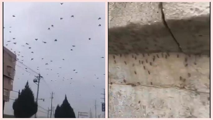 湖北烏鴉滿天飛 北京湧現越冬蚊