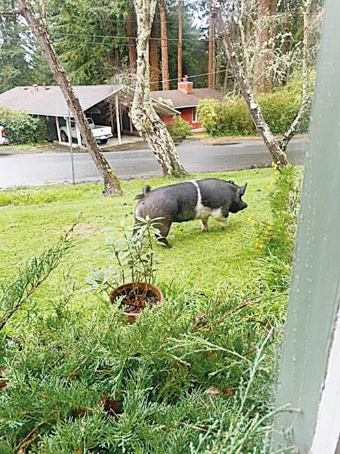 四百磅寵物豬走失 被當牲畜誤殺
