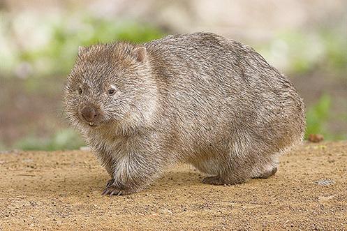 地道專家袋熊。(wikipedia)