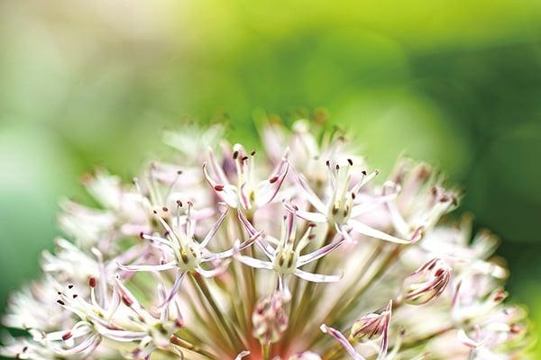 春天伊始食用春蔬「五辛菜」甦活身心來迎新!圖為「五辛菜」之一的蒜之花。(pixabay)