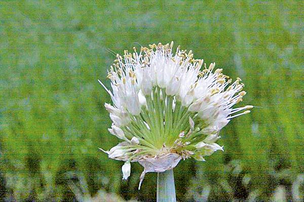 蔥之花(莊溪認識植物網站提供)