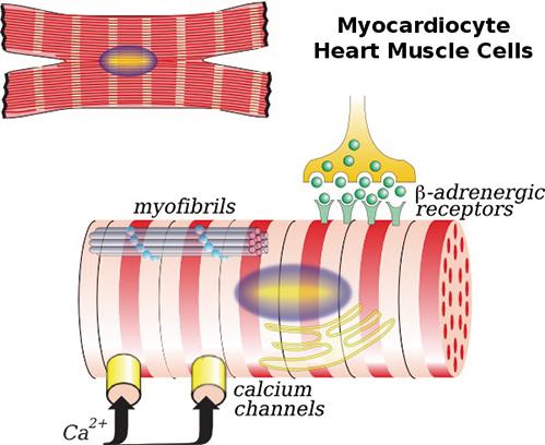 日本首例心肌細胞移植代替心臟移植