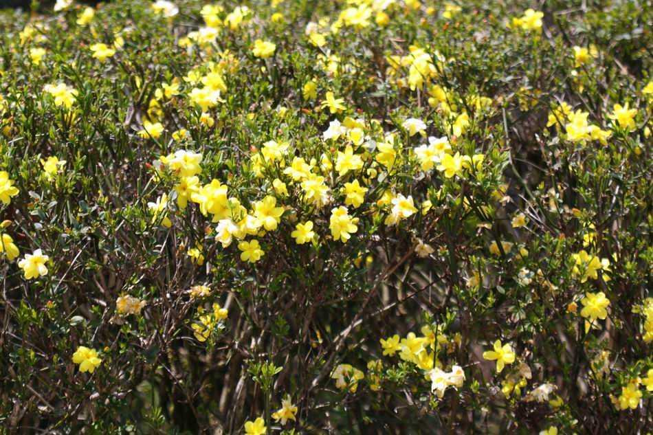 迎春花黃葩佩一身青青綠葉(莊溪「認識植物網站」提供)