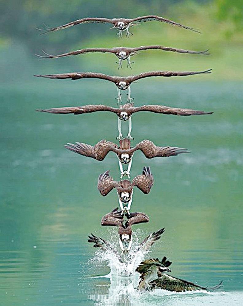(左圖、右圖)計時攝影將時空瞬間停止,魚鷹往下俯衝,在不到幾秒的瞬間展現出各種英姿。