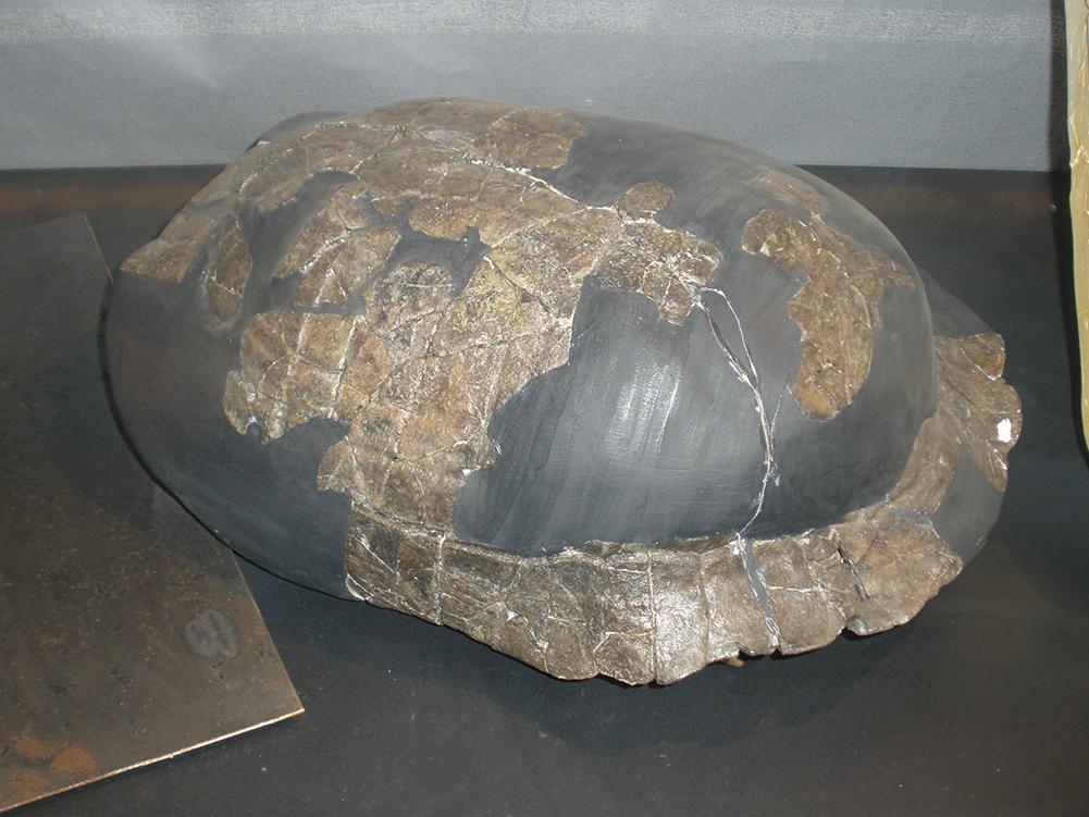 最新發現的化石顯示,北半球一種陸龜在6,600萬年前導致恐龍滅絕的那場大災難中存活了下來。圖為最古老的一種陸龜的龜殼。(維基百科)