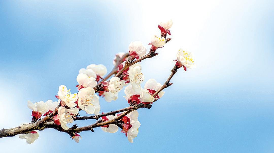 詩人以「一枝紅杏出牆頭」杏花怒放的美景,讚美帝鄉及對帝鄉無限的思念之情(Pixabay)