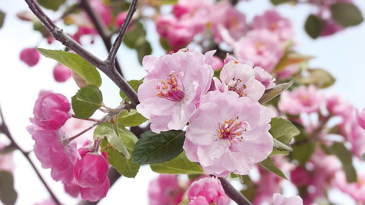 初春二月,杏花燦然盛開(Pxhere)