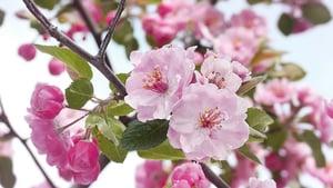 杏花 繁枝如畫春光裏
