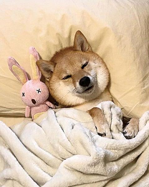 犬中的睡美人? 這隻柴犬以愛睡覺出名