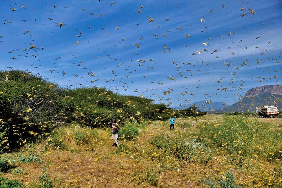 瘟疫肆虐 沙漠蝗蟲 又抵中國邊境