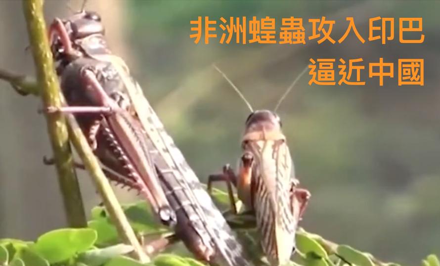 聯合國警告:4000億隻非洲蝗蟲已達中國邊境