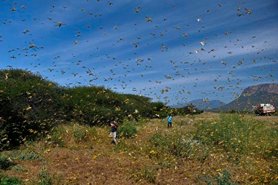 圖為2020年1月22日,當人們接近肯尼亞首都內羅畢以北約300公里的桑布魯縣(Samburu)弓箭手崗(Archers Post)附近的拉拉塔村(Lerata)時,蝗蟲從地面植被中蜂擁而至。(TONY KARUMBA/AFP via Getty Images)