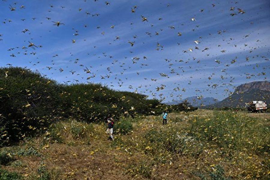禍不單行 瘟疫肆虐 沙漠蝗蟲又達中國邊境