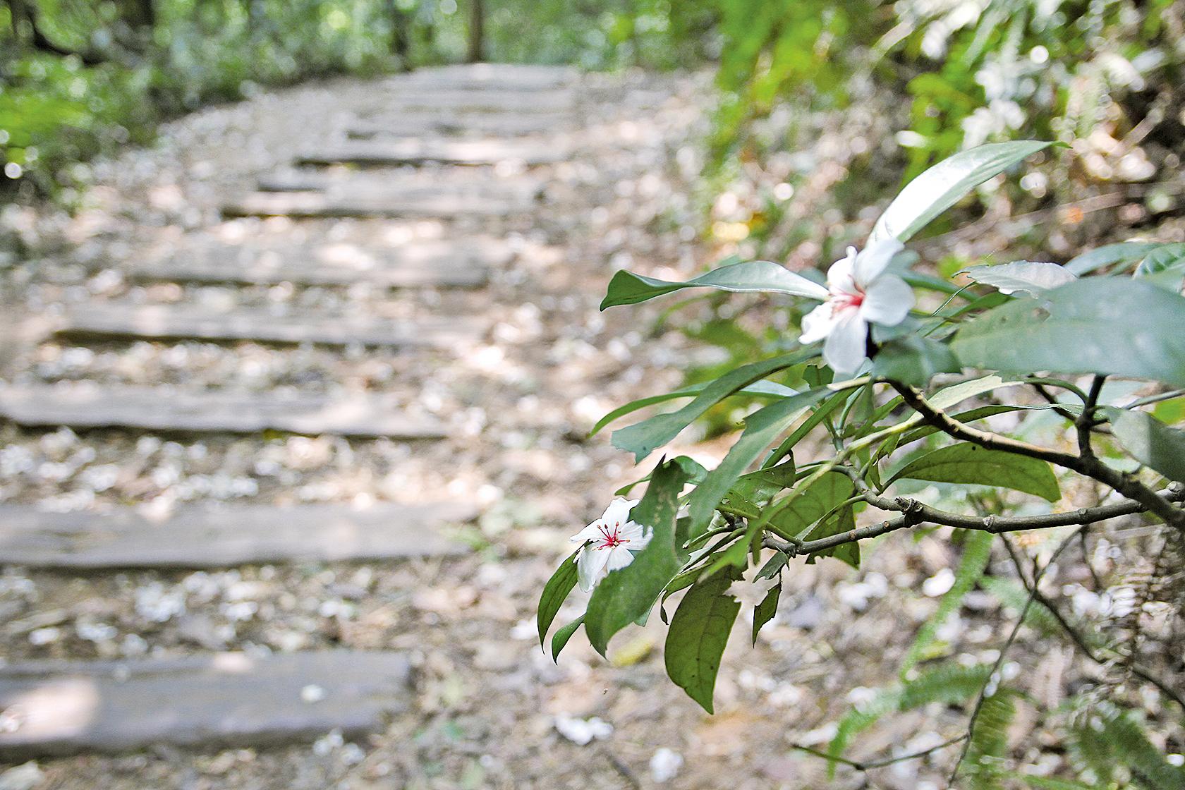 滿山遍野的油桐花,為翠綠色的客庄山頭增添一抹白靄靄的色彩 (苗栗縣府)