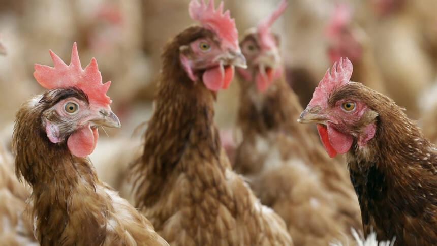 封城封路導致飼料中斷,中國養殖業受重創。(美聯社圖片)