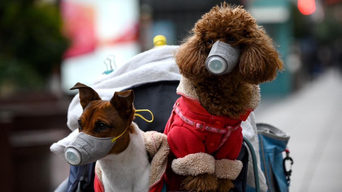 2月19日,上海街頭兩隻寵物戴著口罩隨主人出行。(NOEL CELIS/AFP via Getty Images)