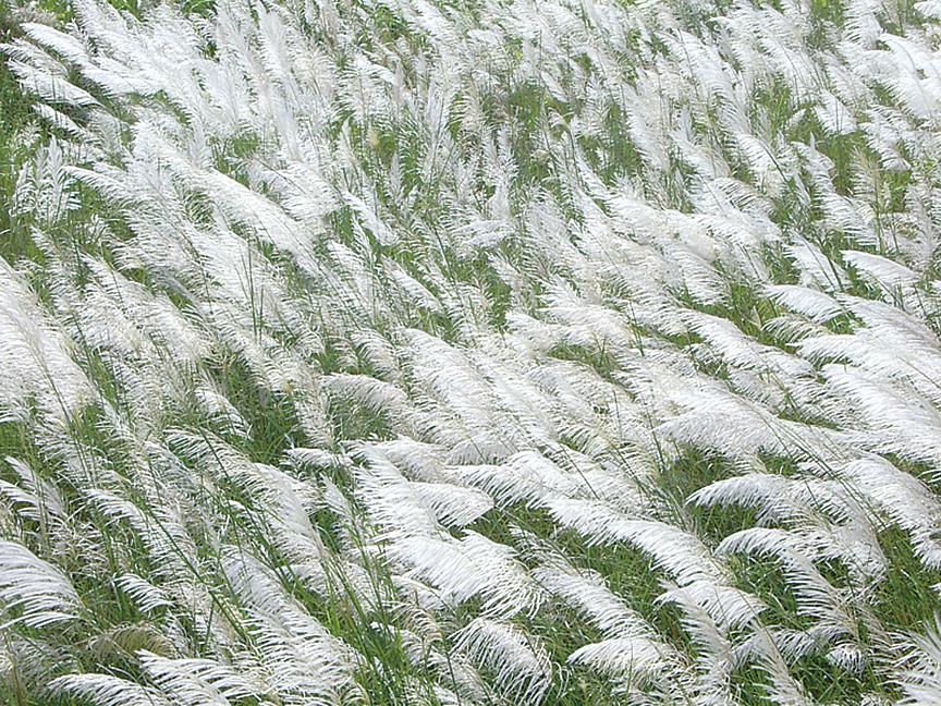 如雪一般的蘆花(王嘉益/大紀元)