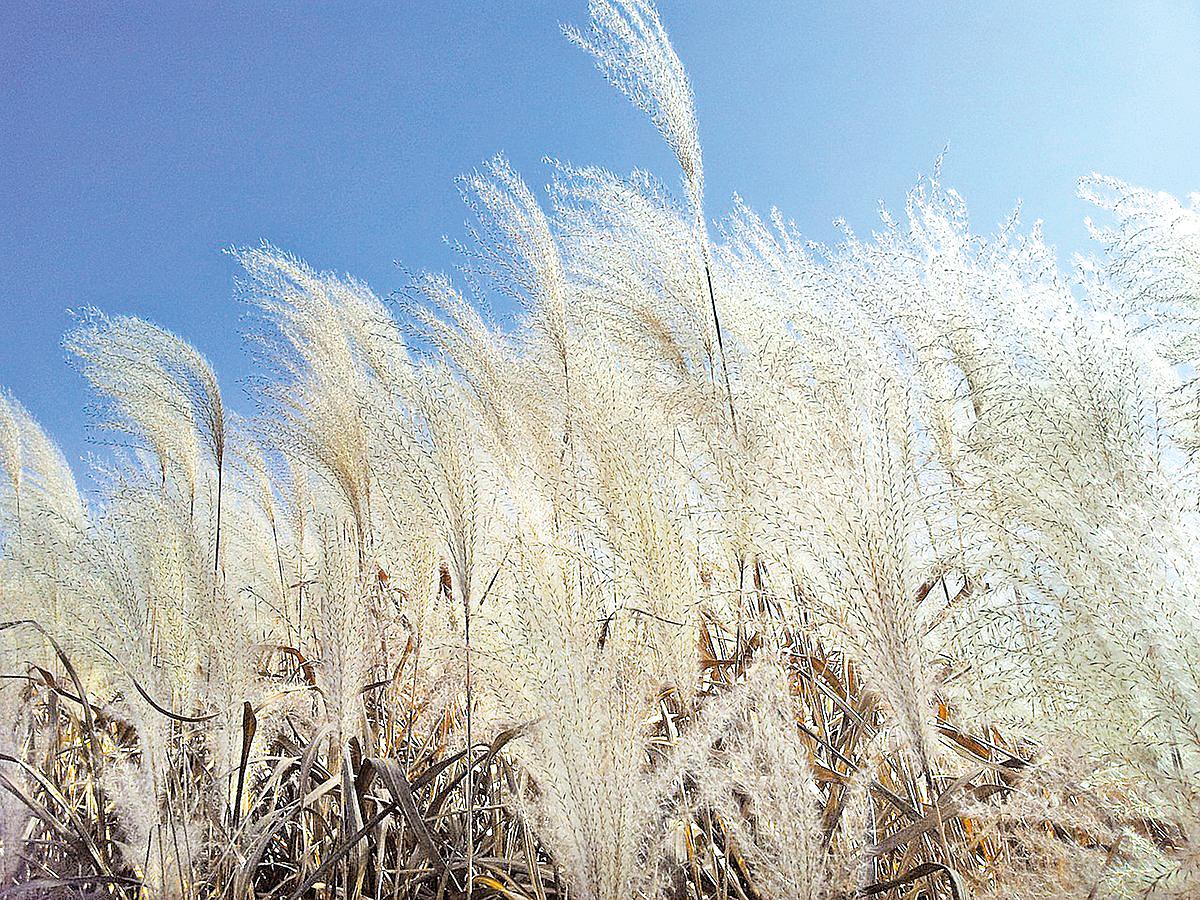 蘆葦之花雖然只有淡白一色,卻別有清虛、飄逸、蕭疏的意境,令人想起古樸悠遠的簫聲 (pixabay)