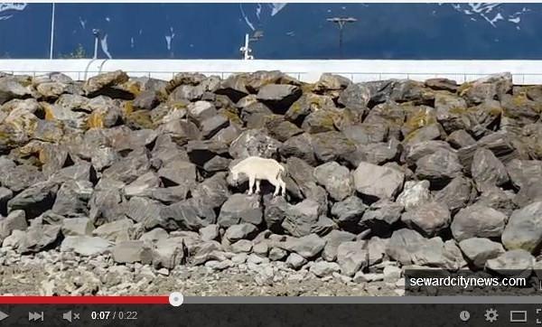美國阿拉斯加州一隻山羊(mountain goat in Alaska)為了躲避遊客拍照,不得不跳海,不幸淹死。(視頻截圖)