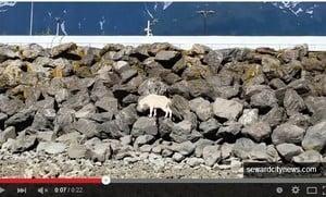 躲避遊客拍照 阿拉斯加山羊走投無路跳海
