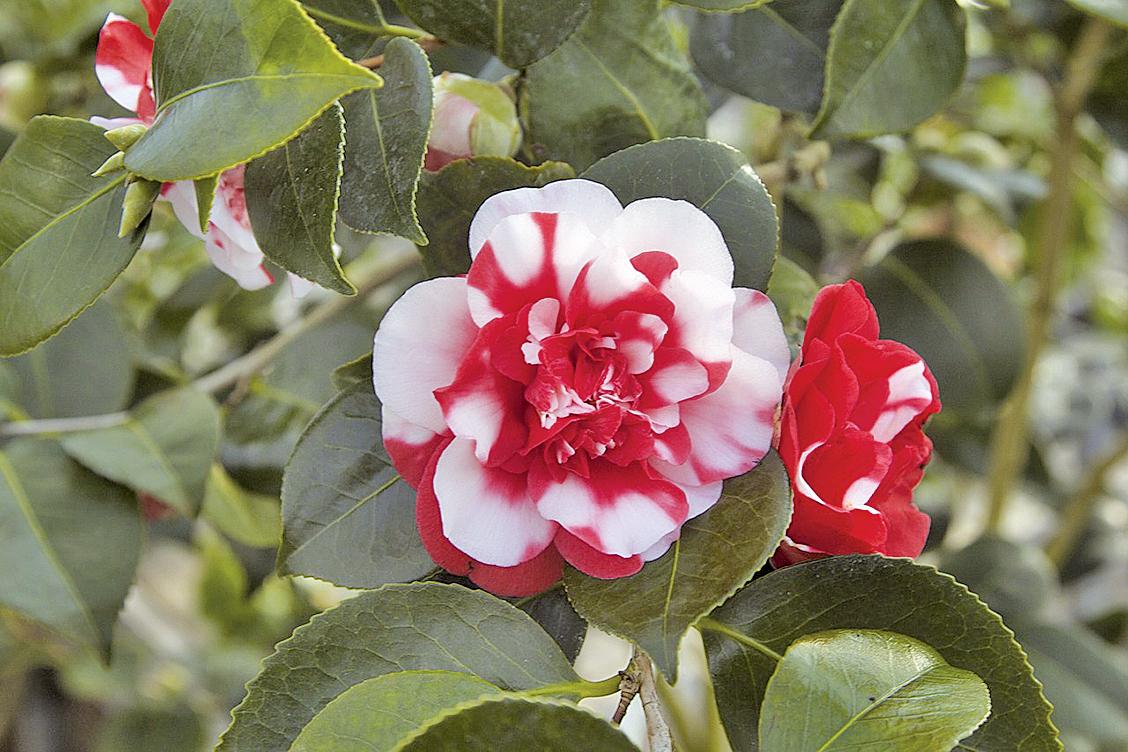 山茶花在小寒時節裏和梅花相隨綻放(pixabay)