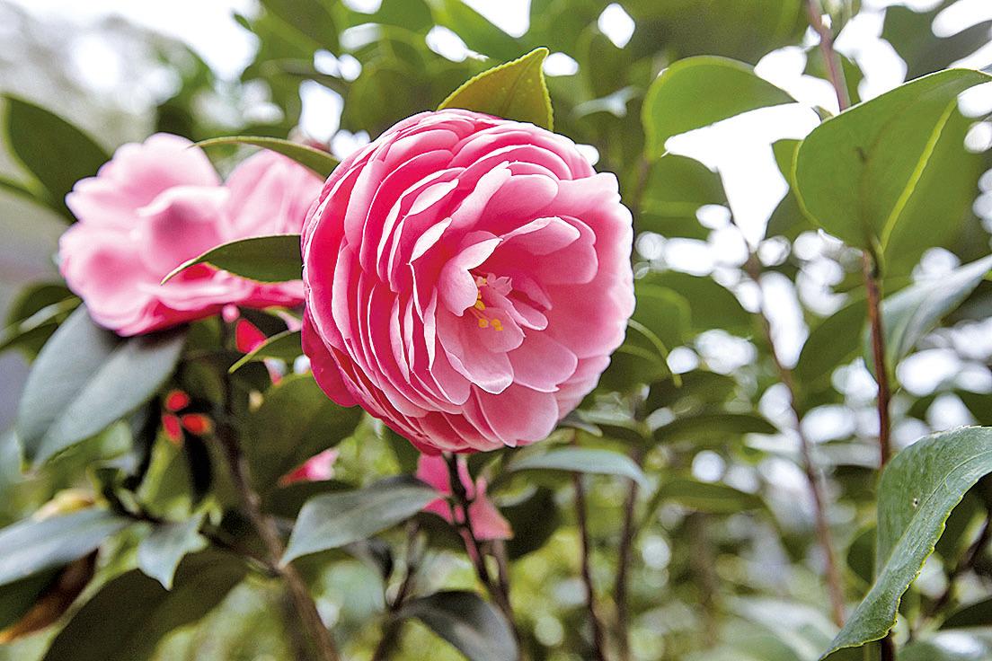 花瓣環列圓融有序的山茶花,聚集天地靈氣早領春 (竹市府提供)