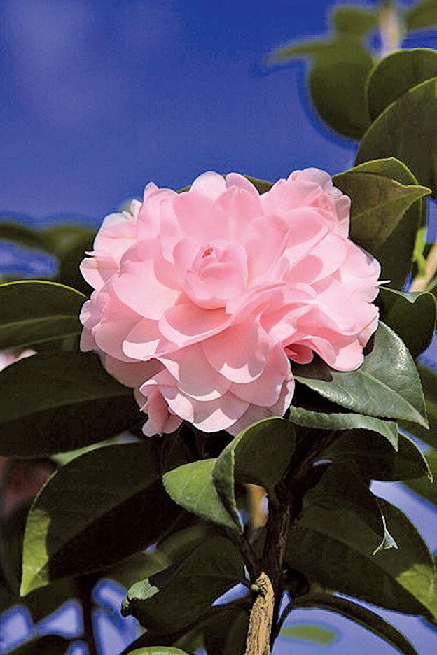 花團錦簇的茶花象徵「花開富貴」賽牡丹(許享富/大紀元)
