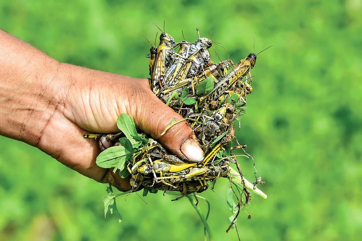 沙漠蝗蟲被認為是最危險的蝗蟲物種,個頭大,還會咬人。(Getty Images)