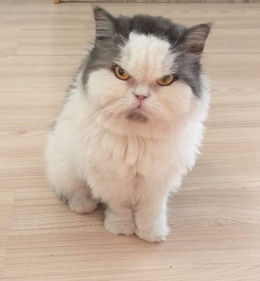 貓貓Leo天生一副生氣的樣子,卻深得網友喜愛,從泰國紅到台灣。(Mira Oho Facebook)