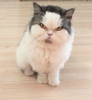 從泰國紅到台灣 牠被封「史上最可愛臭臉貓」