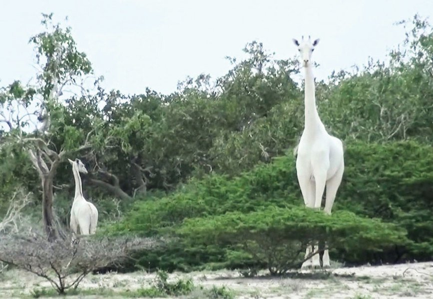 肯尼亞罕見白色長頸鹿 母子遭獵殺僅剩一隻