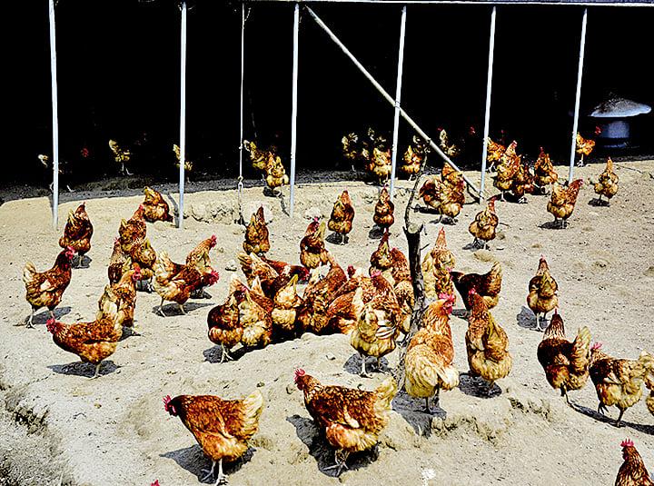 可麗開心農場自己餵養海蘭雞,遊客還可入雞舍撿拾雞蛋。