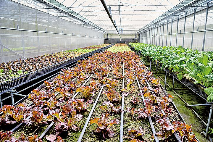可麗農場種了6、7分地的有機蔬菜,這些蔬菜都是經過有機認證的。